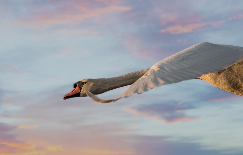 Фото обои небо, птица, крыло, лебедь, полёт, шея