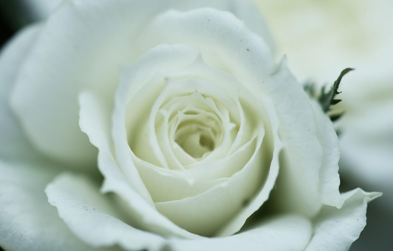 Фото обои белый, макро, роза