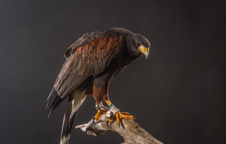 Фото обои фон, птица, хищник, перья, клюв, когти, коряга, ястреб, Harris Hawk