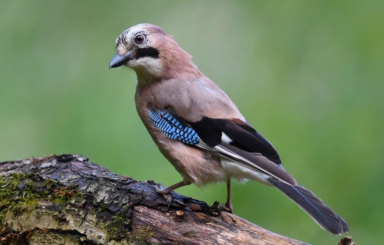 раздел вэлнэс, показать фото птицы сойки расставании