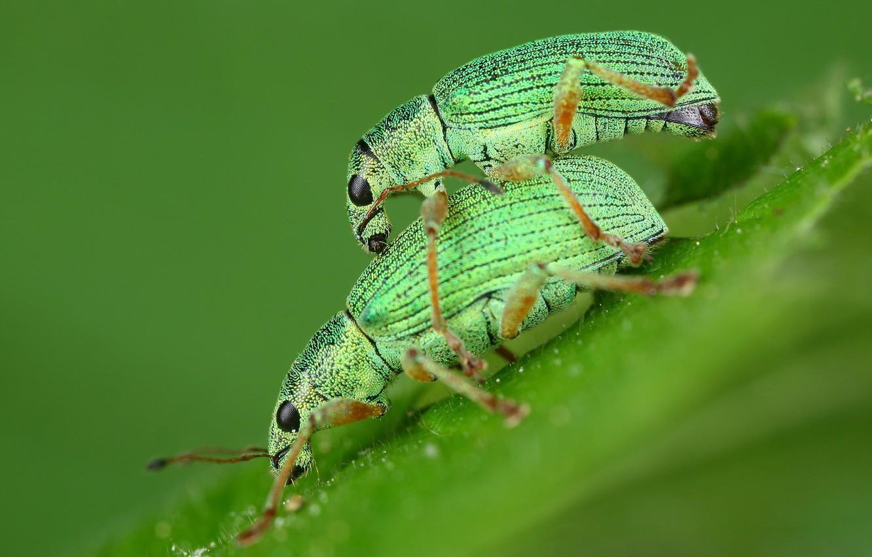 Фото обои эротика, макро, любовь, насекомые, фон, листок, весна, зеленые, пара, жуки, парочка, два, 18+, жучки, спаривание