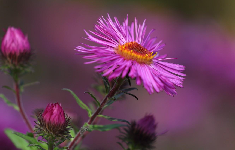 Фото обои цветок, макро, лепестки, астра, боке