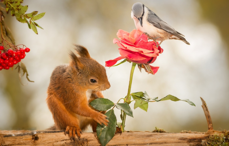 Фото обои животные, цветок, природа, ягоды, птица, роза, белка, журнал, рябина, грызунов