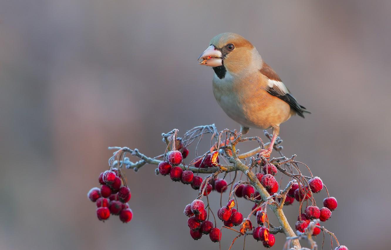 Фото обои птицы, ягоды, ветка, дубонос, обыкновенный дубонос