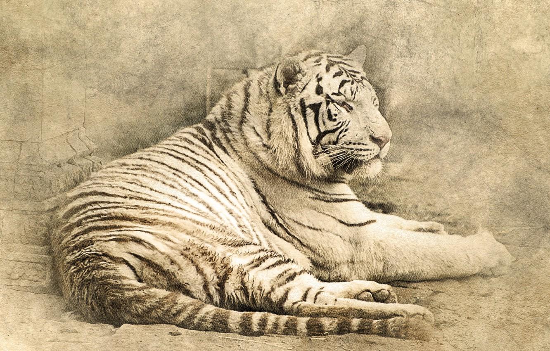 Фото обои кошка, тигр, лежит, tiger