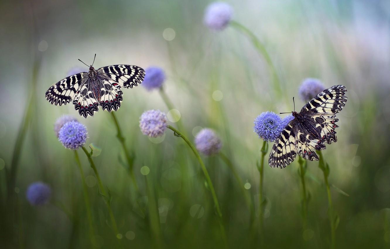 Фото обои трава, макро, бабочки, цветы, природа, пара, боке, Roberto Aldrovandi