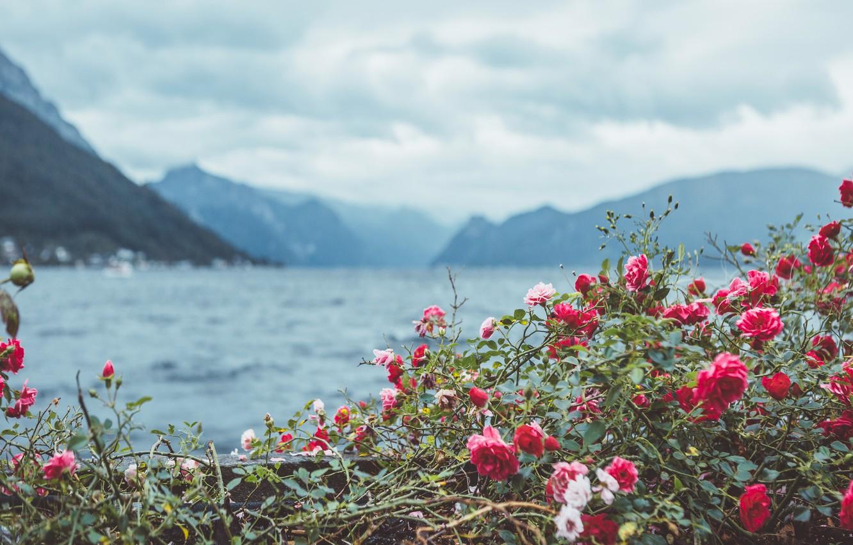 фото роза в горах высокими каменистыми