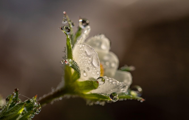 Фото обои цветок, капли, макро, природа, роса, фон