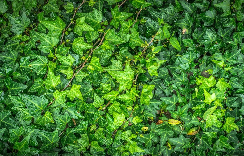 Фото обои листья, капли, зеленый