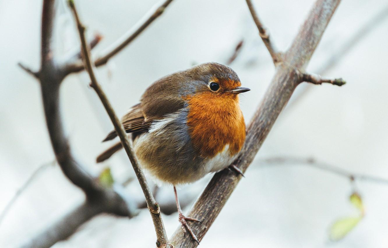 Фото обои ветки, птица, перья, птичка, зарянка