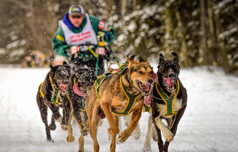 Фото обои собаки, спорт, бег