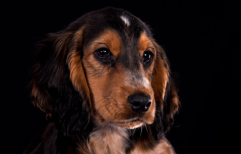 Фото обои взгляд, портрет, собака, щенок, мордашка, чёрный фон, Кокер-спаниель