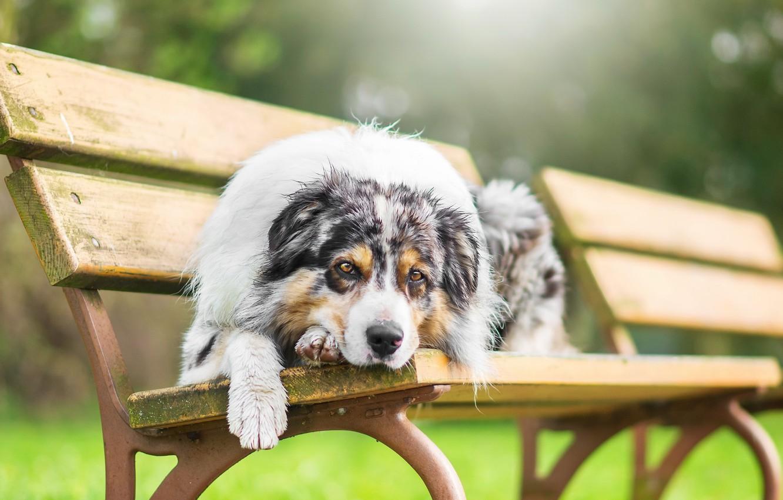 Фото обои взгляд, собака, скамья