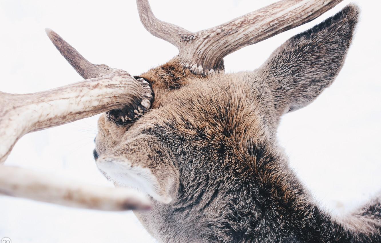 Фото обои зима, лес, животные, снег, олень, рога, winter, snow, animal, reindeer