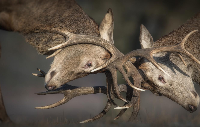 Фото обои рога, олени, схватка