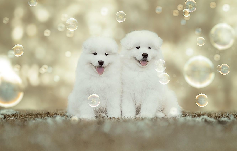 Фото обои щенки, мыльные пузыри, малыши, парочка, боке, Самоед