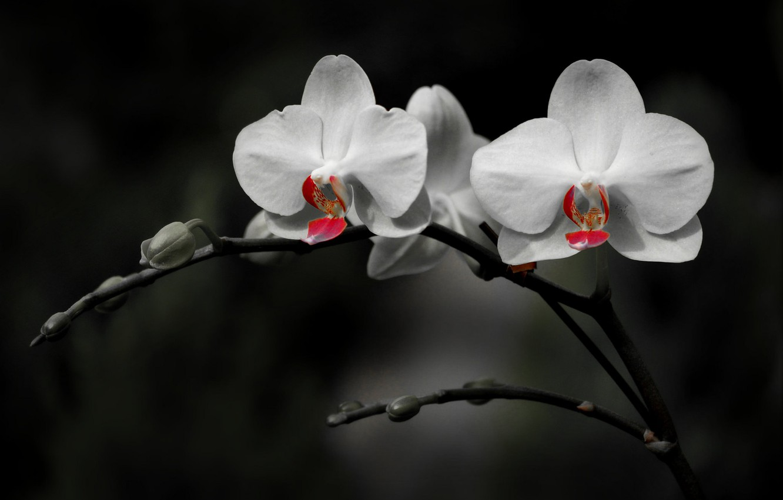 все фото белой орхидеи на черном шелке мечтаете кухонной мебели