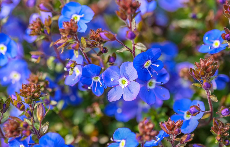 Фото обои макро, синий, вероника