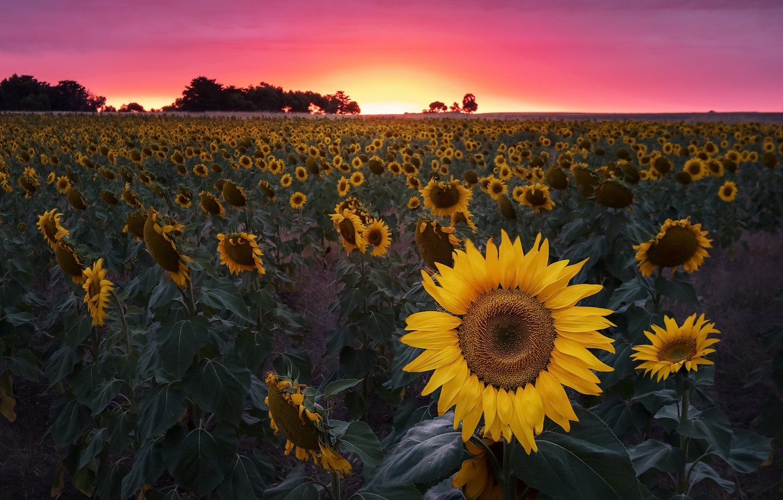 Фото обои поле, закат, подсолнух