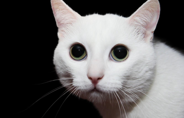 Фото обои глаза, кот, фон, мордашка