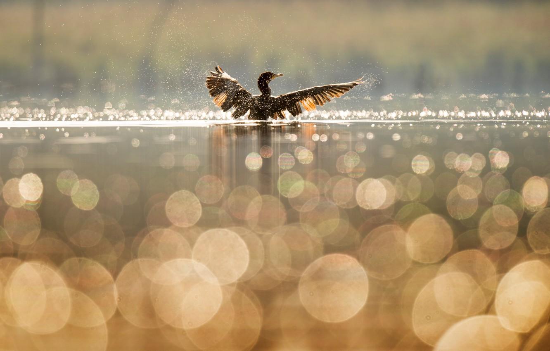 Фото обои вода, брызги, озеро, отражение, птица, крылья, утка, боке, баклан