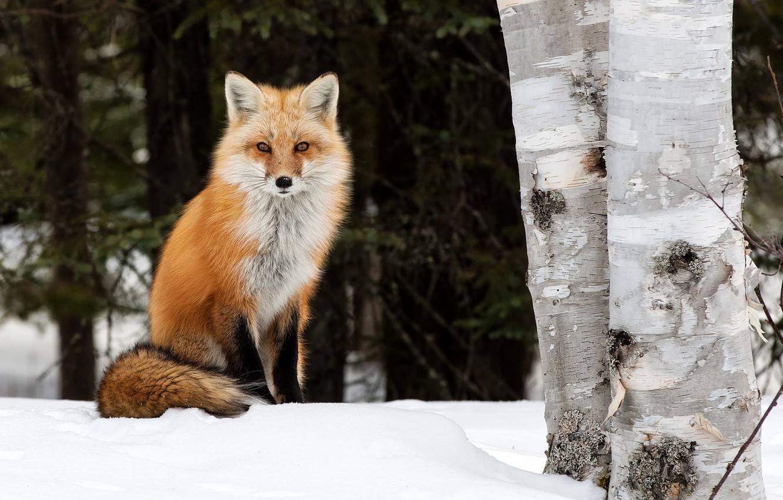 Фото обои зима, деревья, природа, животное, лиса, берёзы, лисица, Peter Darcy