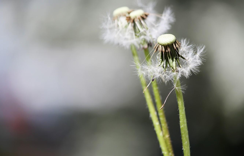 Фото обои цветы, природа, одуванчики