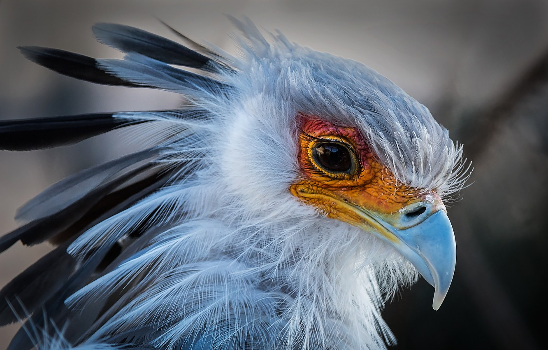 Фото обои птица, портрет, клюв, секретарь, птица-секретарь, ястребообразная