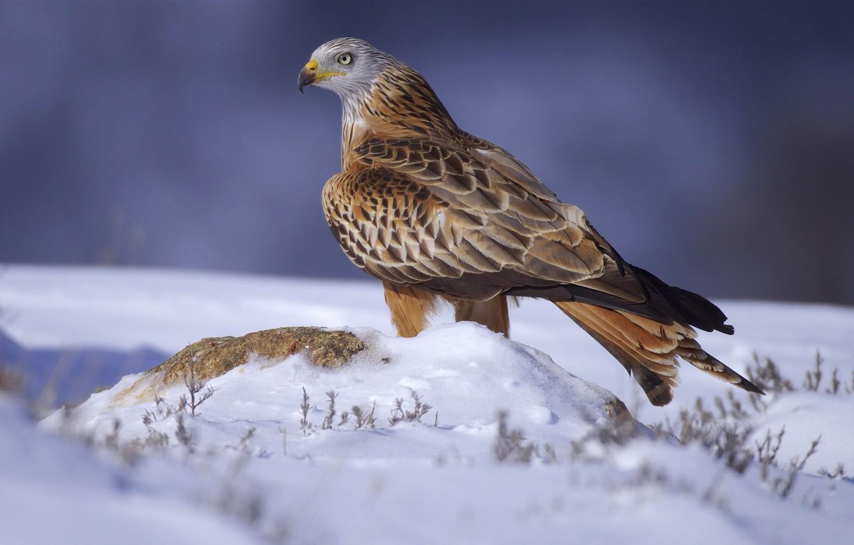 Фото обои снег, птица, хищная птица