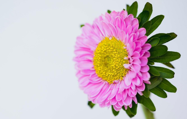 Фото обои цветок, природа, лепестки, астра
