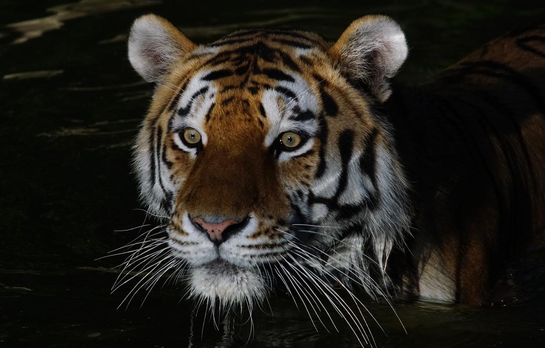 Обои Кошка, tigr, зверь. Кошки foto 19