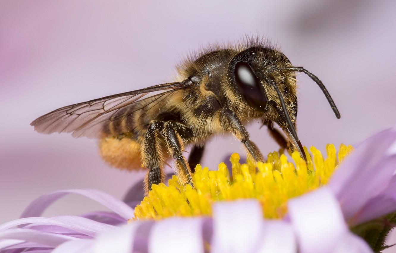 Обои насекомое, цветок, пчела. Макро foto 12