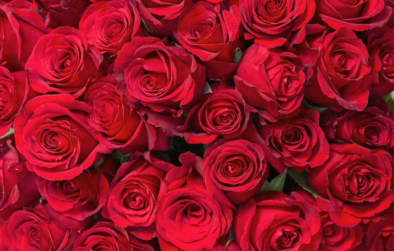 Обои розы, бутоны, mnogo. Цветы foto 11