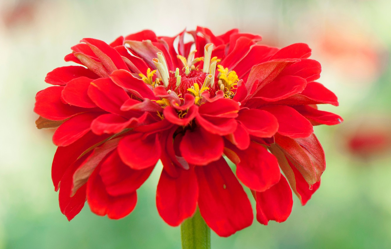 Фото обои цветок, макро, лепестки, цинния