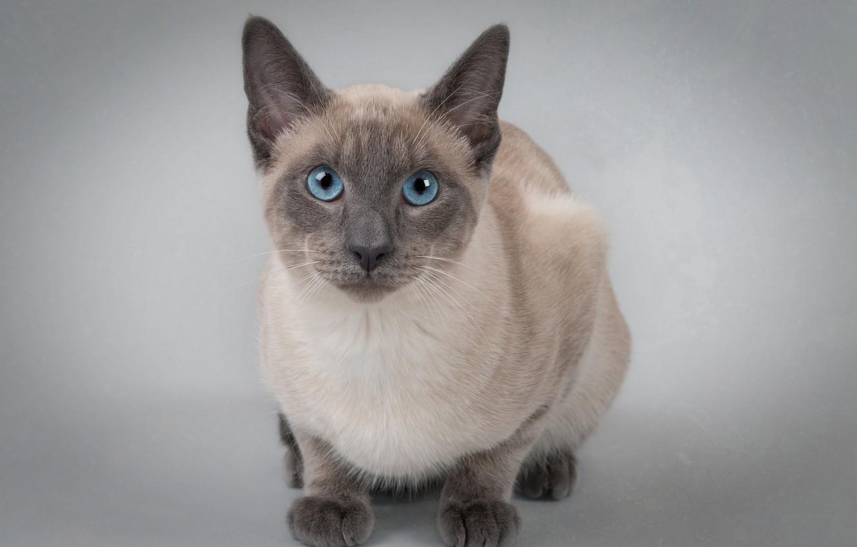 Фото обои кошка, взгляд, фон, портрет, голубые глаза, котейка, Тайская кошка
