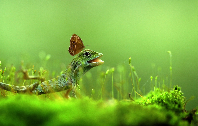 Фото обои трава, природа, бабочка, ящерица, rexsi vierdana