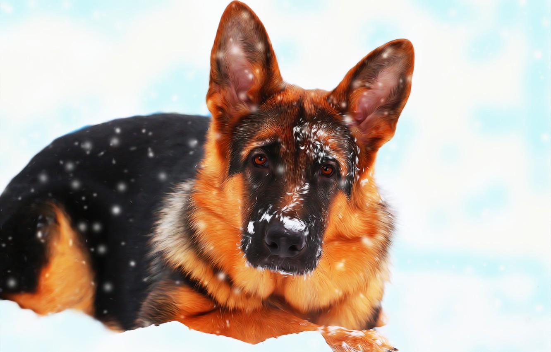Фото обои снег, друг, собака, немецкая овчарка