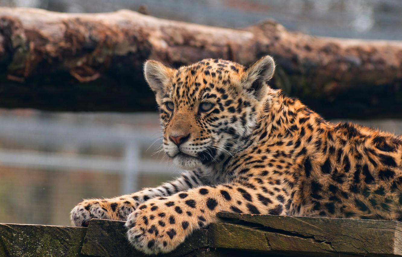 Обои детеныш леопарда, Милая мордашка. Животные foto 11
