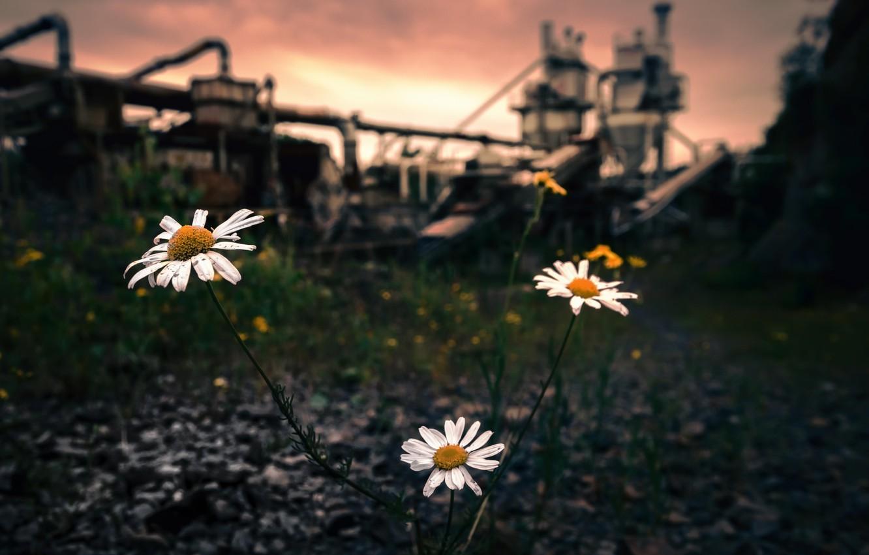 экологическая ромашка картинки проехать