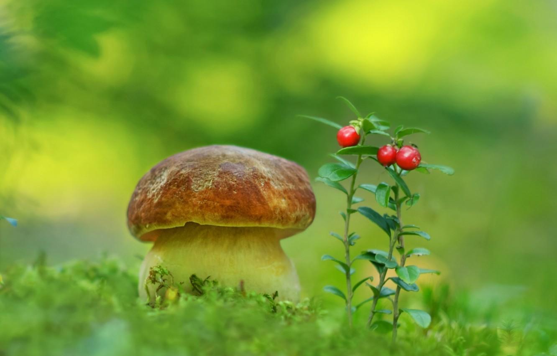 Фото обои гриб, мох, брусника, боровик