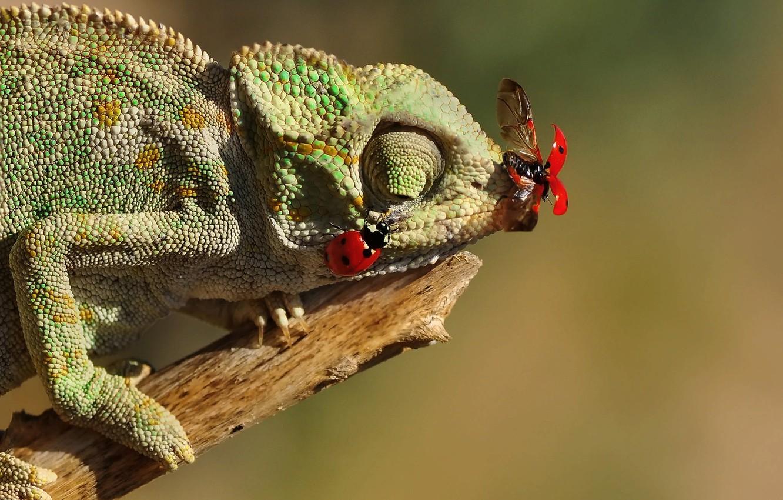 Фото обои насекомые, хамелеон, ящерица, божьи коровки, сучок, Mustafa Öztürk