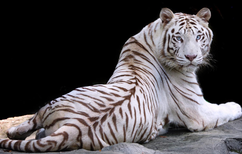 Фото обои белый, природа, тигр, животное, отдых