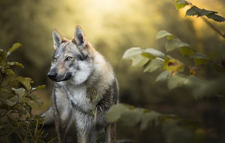 Обои лес, природа, волк картинки на рабочий стол, раздел собаки - скачать