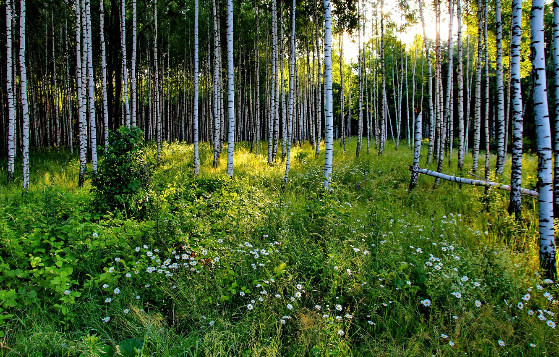 Фото обои зелень, лес, лето, трава, солнце, деревья, цветы, ромашки, Россия, берёзы, роща