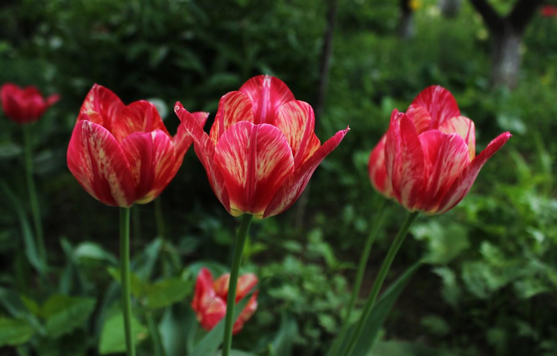 Фото обои Весна, Spring, Боке, Bokeh, Red tulips, Красные тюльпаны