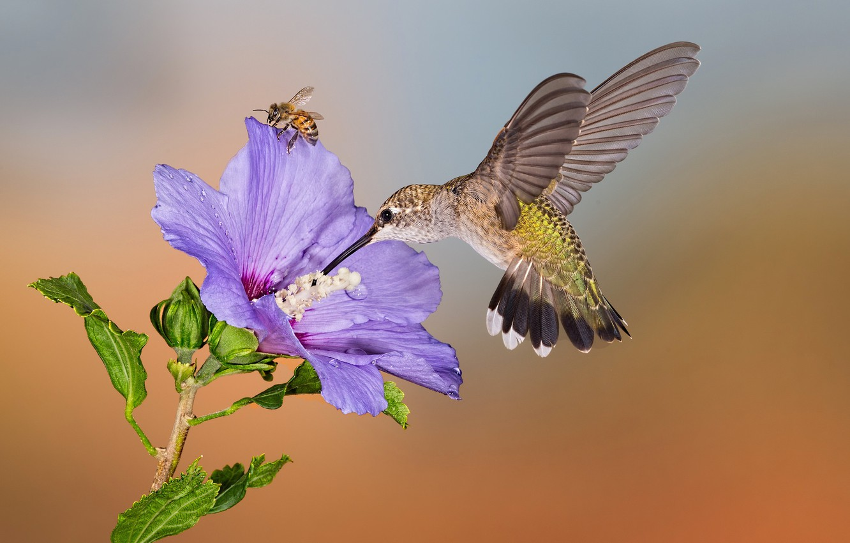 пройдет пчелиный колибри картинки солидный возраст