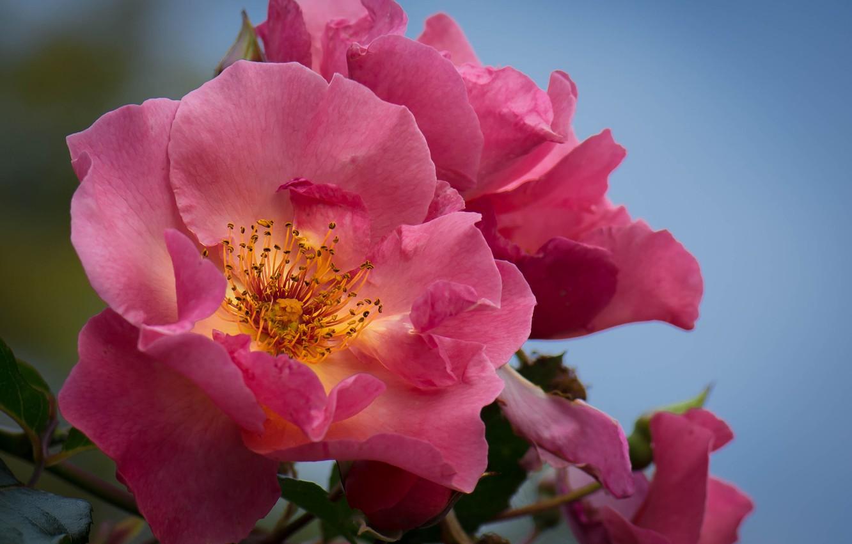 Фото обои макро, цветы, фон, куст, розы