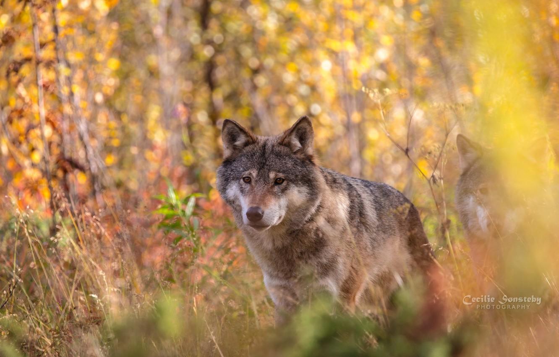 Фото обои осень, морда, волк, портрет, хищник