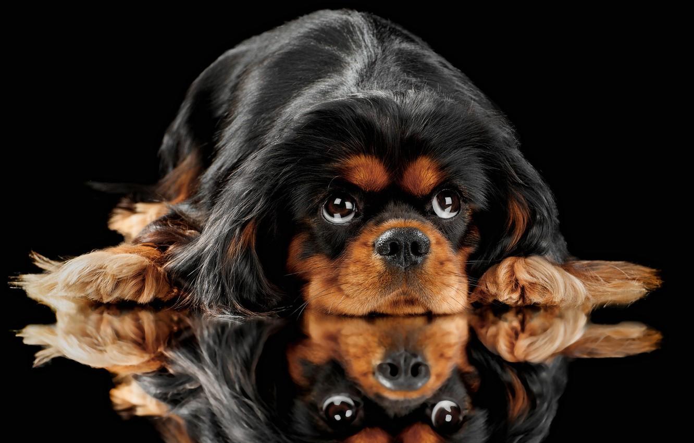 Фото обои взгляд, отражение, портрет, собака, мордашка, чёрный фон, Кинг-чарльз-спаниель, Английский той-спаниель