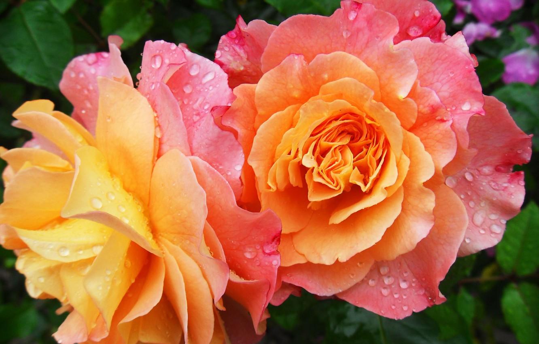Фото обои капли, цветы, роса, роза, лепестки, сад